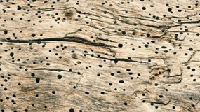 Woodworm Infestation Advice, Diagnosis, Risks & Treatment